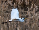 Grande Aigrette en vol
